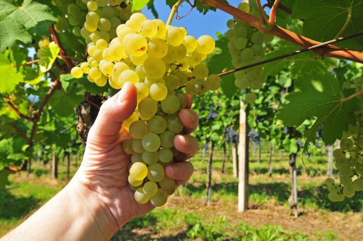 44264527 – hand holding fresh growing white grapes in vineyard